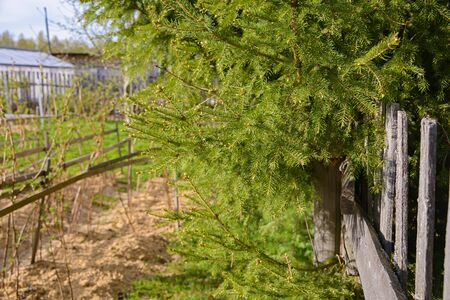 Green spruce branches and gray old wooden fence with cracks on a sunny day. Фото со стока