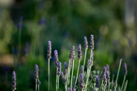 Lavendar flower blooms in a green garden. Stock Photo