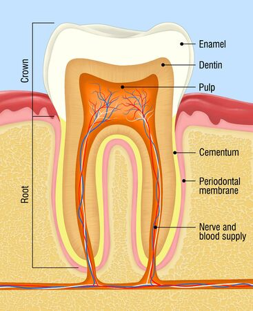 medical illustration for tooth cross section