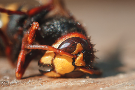 hornet: insect hornet close-up shallow depth of field Stock Photo