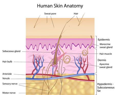 cute: Anatomia di pelle umana, dettaglio e preciso, eps8, etichettati