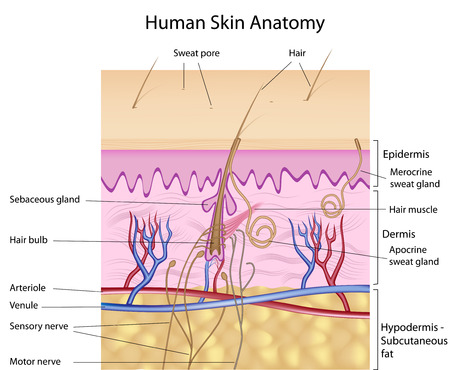 Human skin anatomy, detail and accurate, eps8, labelled Vector