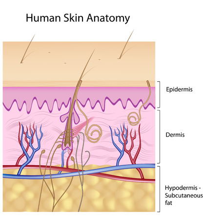 Human skin anatomy, detail and accurate, eps8,non- labelled Vector