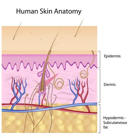 anatomie mens: Menselijke huid anatomie, detail en nauwkeurige, eps8, niet - gelabelde