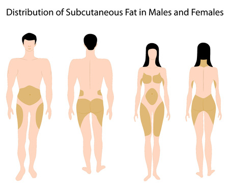 Subcutaneous fat distribution in human, eps8 Stock Vector - 9035566