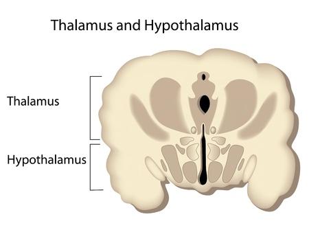 thalamus: Secci�n transversal del cerebro, eps8