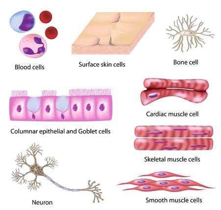 nervenzelle: Menschliche Zelle Sammlung, eps8 Illustration