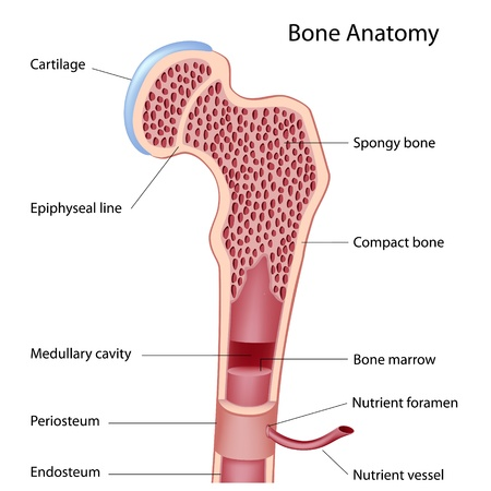 cross bones: Bone structure