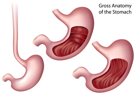 sphincter: Stomach Illustration