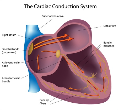 Electrical pathways of the heart, eps8 Vector