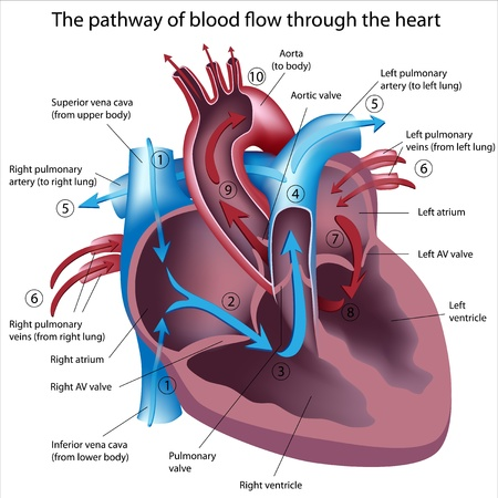 heart attack: Pathway of blood flow through the heart, eps8 Illustration