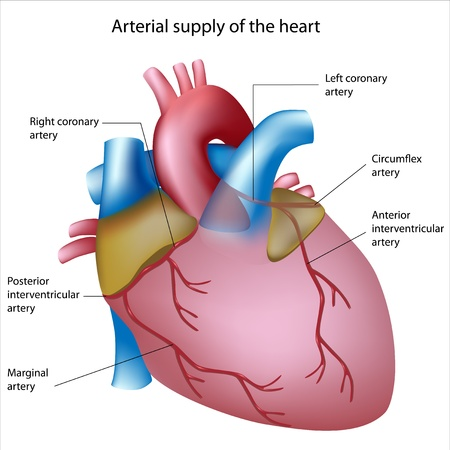 heart disease: Blood supply to the heart, sites of heart attack, eps8 Illustration
