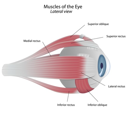 Muscles of the eye, eps8 Stock Vector - 9549407