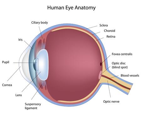 optometria: Przekrój poprzeczny ludzkiego oka, eps8 Ilustracja