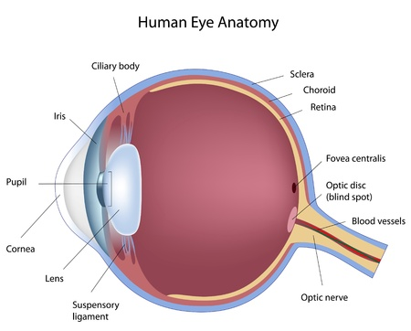 anatomia: Secci�n transversal del ojo humano, eps8