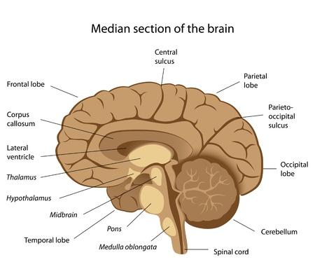 mediaan: Menselijk brein anatomie, eps8 Stock Illustratie