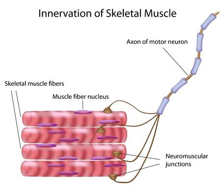 neurona: M�sculo esquel�tico, eps8 Vectores