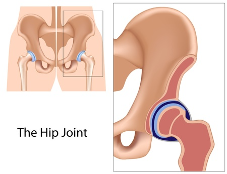 Hip joint structure, eps8 Vector
