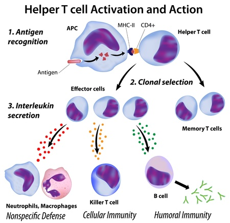 circulatory: Immune system basics: Function of T helper cells, eps8 Illustration