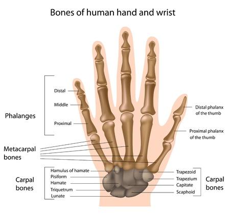 Menschliche Handteile Und Knochen. Hand Auf Dem Weißen Hintergrund ...