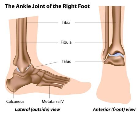 Ilustración Vectorial De Tobillo Anatomía Humana. Huesos Y Tendones ...