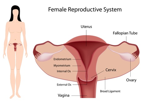 corpo umano: Sistema riproduttivo femminile Vettoriali