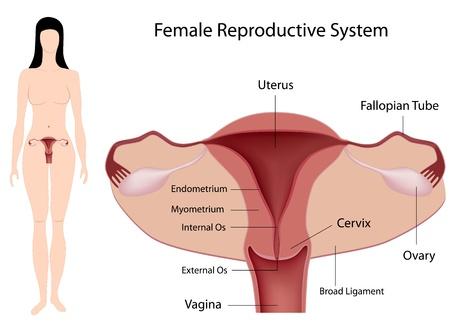 Weißen Hintergrund Vektor-Illustration Einer Vagina Anatomie ...