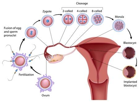 ovary: El desarrollo humano temprano
