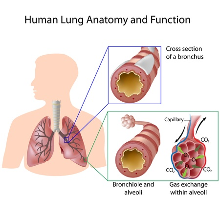 lung bronchus: Human lung anatomy and function Illustration