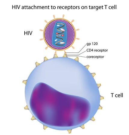 aids virus: HIV attachment to target T cell