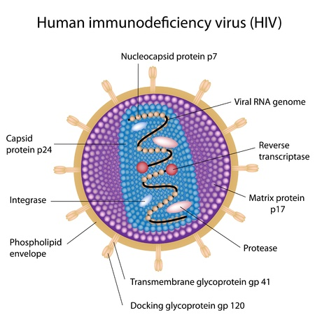 virus cell: Structure of HIV