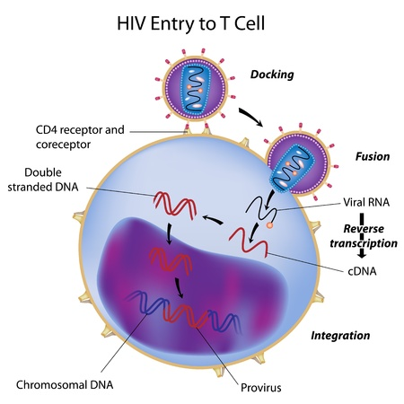 aids virus: HIV entry to T cell