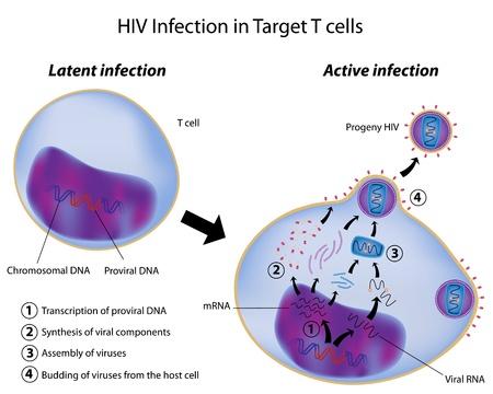 Latente y la infección activa por el VIH Ilustración de vector