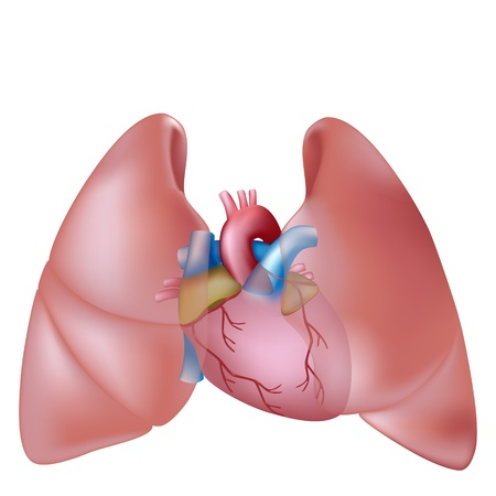 lung bronchus: Human lungs and heart Illustration