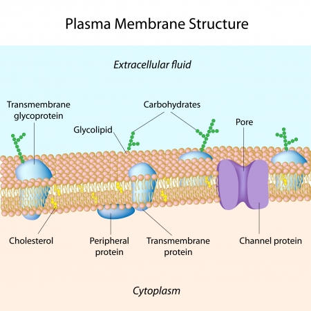 Structure of plasma membrane Stock Vector - 12595552
