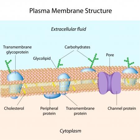 membrana cellulare: Struttura di membrana plasmatica Vettoriali