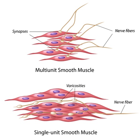 부드러운 근육의 신경 분포 일러스트