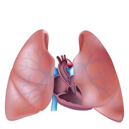 aparato respiratorio: Corazón de la sección transversal y la anatomía de los pulmones