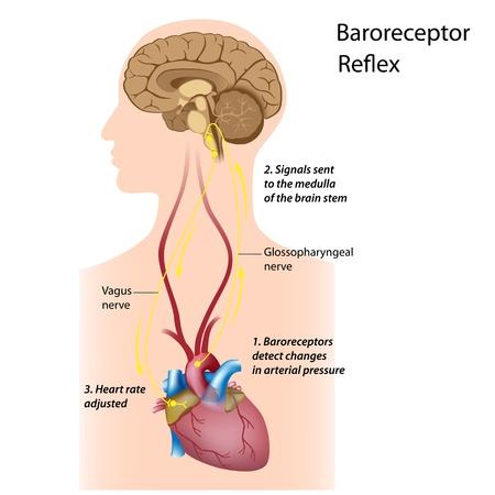 La regulación de la presión arterial Ilustración de vector