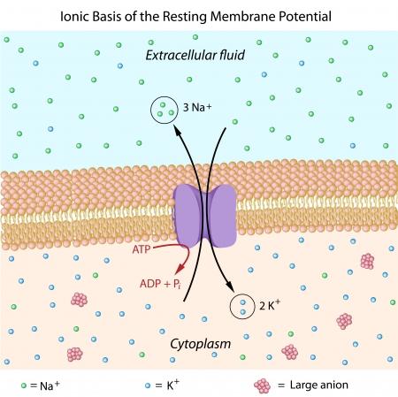 membrane cellulaire: Base ionique du potentiel de membrane au repos Illustration