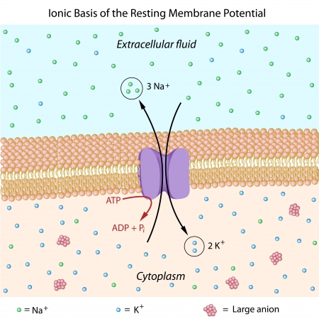 cytoplasm: Ionic basis of resting membrane potential