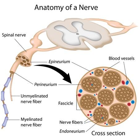 cellule nervose: Anatomia di un nervo Vettoriali