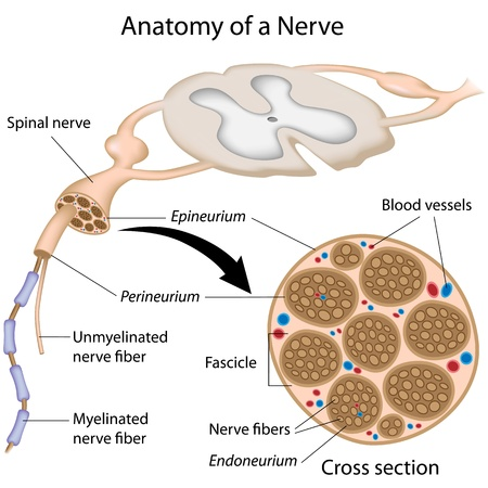 Anatomy of a nerve 向量圖像