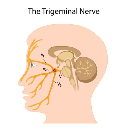 The trigeminal nerve Vector