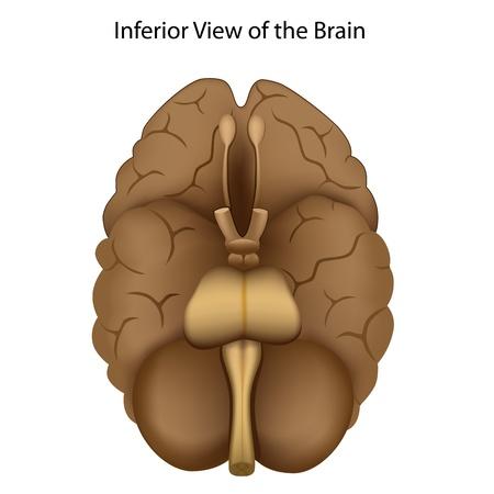 talamo: Base del cerebro