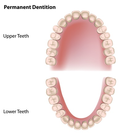 sistema digestivo: Los dientes permanentes, la dentición adulta