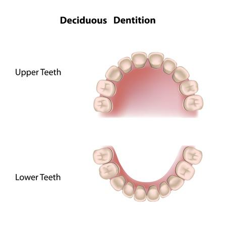 Uzębienie liściaste (zębów mlecznych) Ilustracje wektorowe