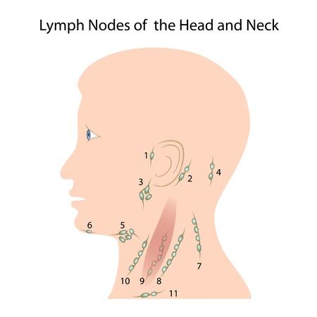 Lymfeklieren van het hoofd-halsgebied Vector Illustratie