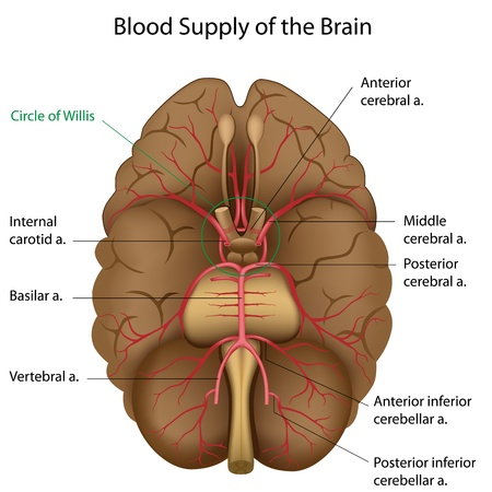 anatomy brain: Blood supply of the brain Illustration