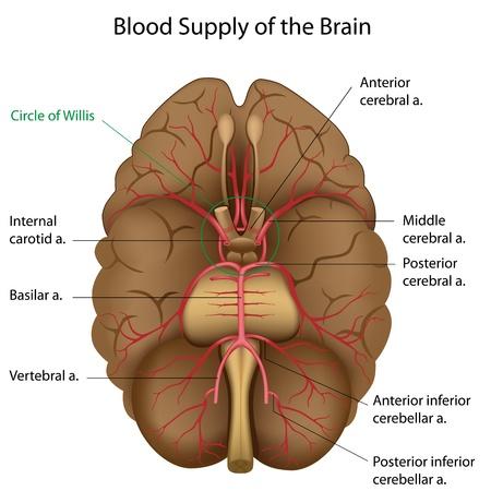 sistema nervioso central: Suministro de sangre del cerebro